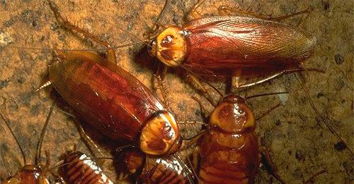cafards ou blattes